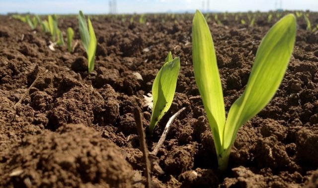 Période critique du désherbage du soya et du maïs