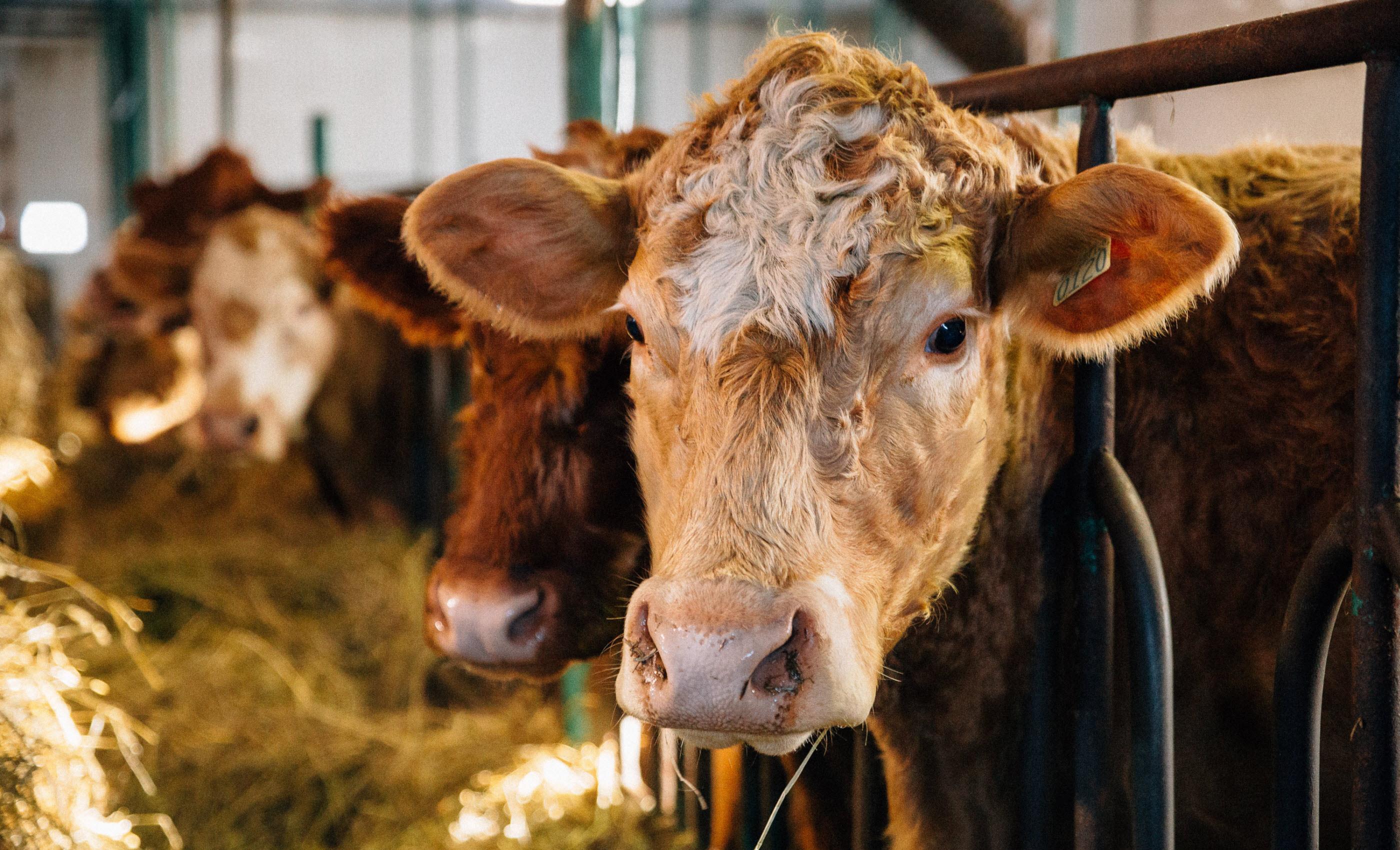 Du bœuf québécois dans l'assiette des consommateurs