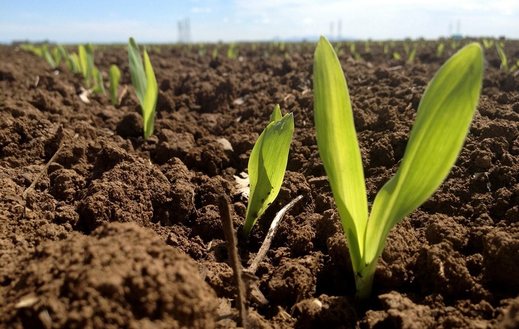 Azote dans le maïs : protection et utilité
