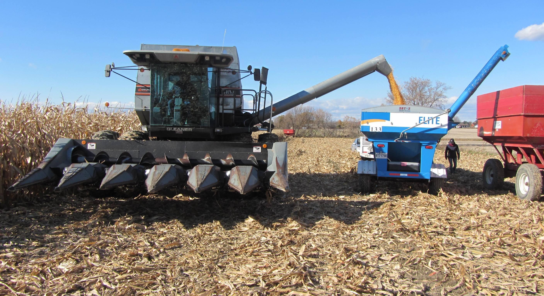 Maïs: de nouveaux hybrides Elite à semer