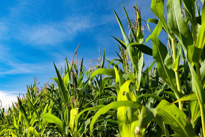 Rentabiliser le potentiel de ses hybrides de maïs