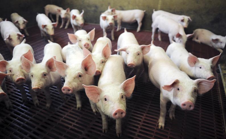 1 M$ pour améliorer la sélection génétique porcine